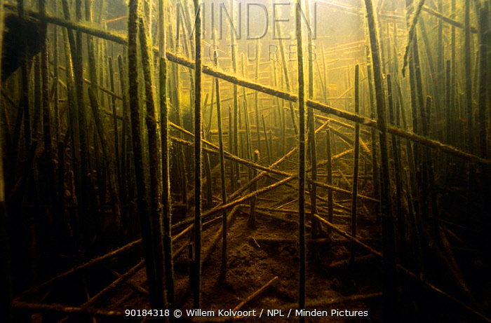 Landscape with dead vegetation of Common Reed (Phragmites australis) in early spring, algae grows on reed stalks, Lake Naarden, Holland  -  Willem Kolvoort/ npl