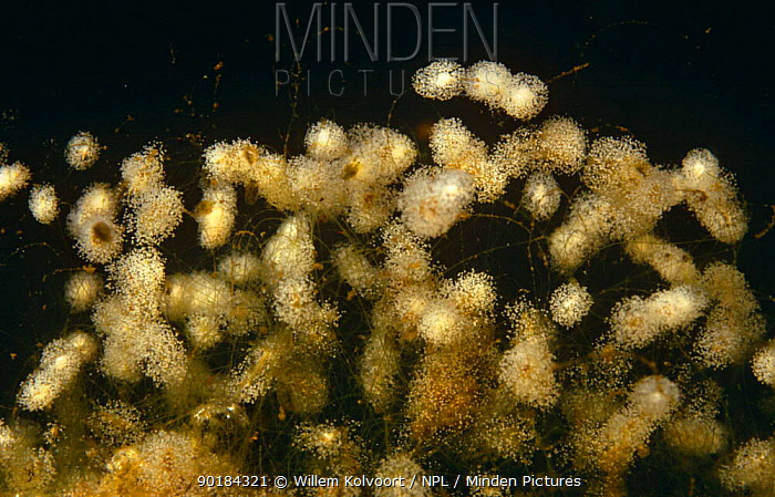 Bell animalcules (Vorticella sp) (Protozoa) living in small colonies on algae, underwater, Holland  -  Willem Kolvoort/ npl