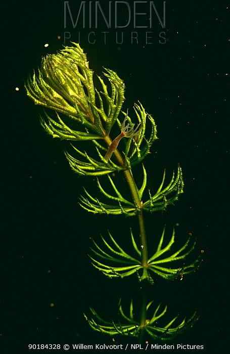 Common Hydra (Hydra vulgaris) on Rigid hornwort Lake Naarden, Holland  -  Willem Kolvoort/ npl