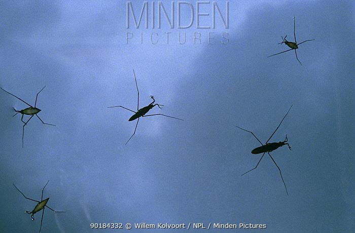 Pond Skaters (Gerris rufoscutellatus) view from below, captive, Holland  -  Willem Kolvoort/ npl