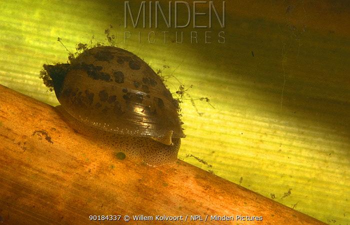 Ear snail (Lymnaea auricularia) peat bog, Holland  -  Willem Kolvoort/ npl