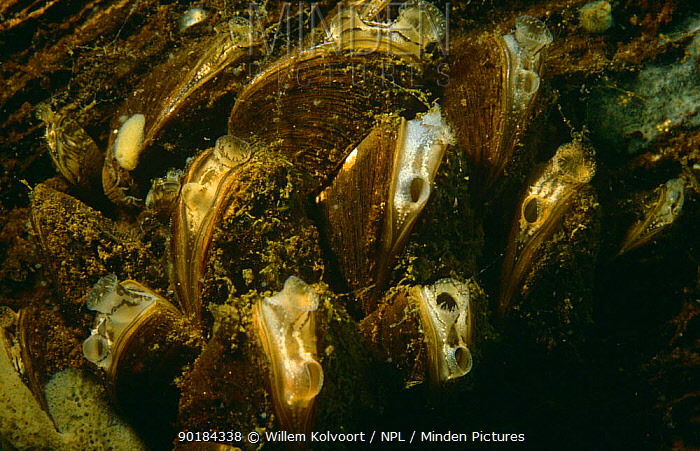 Zebra mussels (Dreissena polymorpha) filter feeding with tentacles preventing discharge from entering Peat-bog lake, Holland  -  Willem Kolvoort/ npl