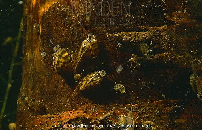Zebra mussels (Dreissena polymorpha) filter feeding, Holland  -  Willem Kolvoort/ npl