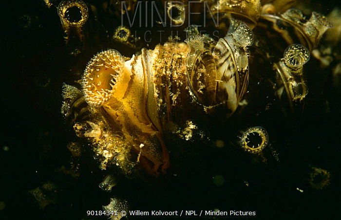 Zebra mussels (Dreissena polymorpha) one adult and several young filter feeding, Holland  -  Willem Kolvoort/ npl