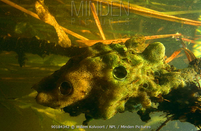Freshwater sponge (Spongilla lacustris) showing discharge openings where the water stripped from plankton is pumped out Green coloration due to alage, garden pond, Holland  -  Willem Kolvoort/ npl