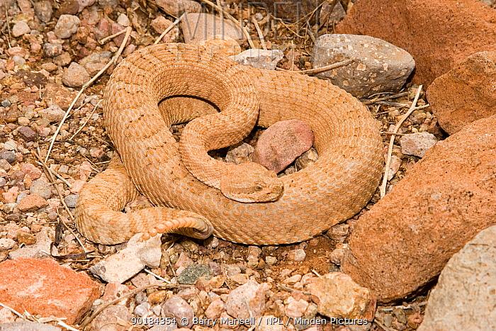 Midget Faded Rattlesnake (Crotalus viridis concolor)  -  Barry Mansell/ npl