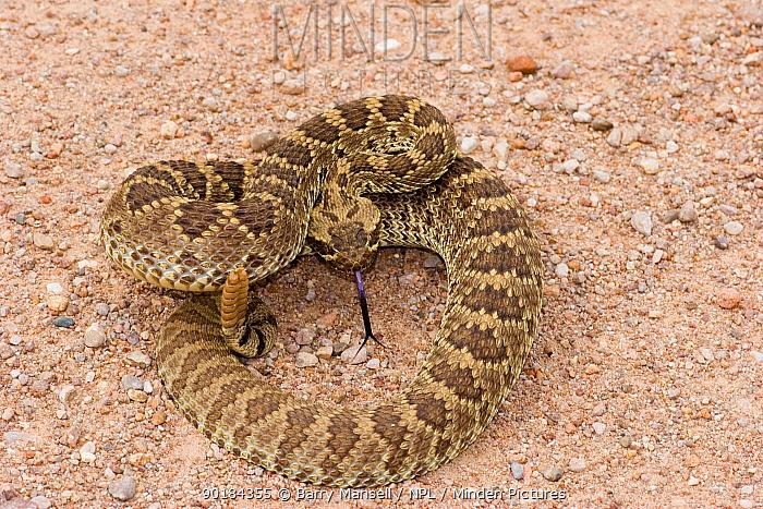 Mojave Rattlesnake (Crotalus scutulatus) showing tongue and rattle, Arizona, USA  -  Barry Mansell/ npl