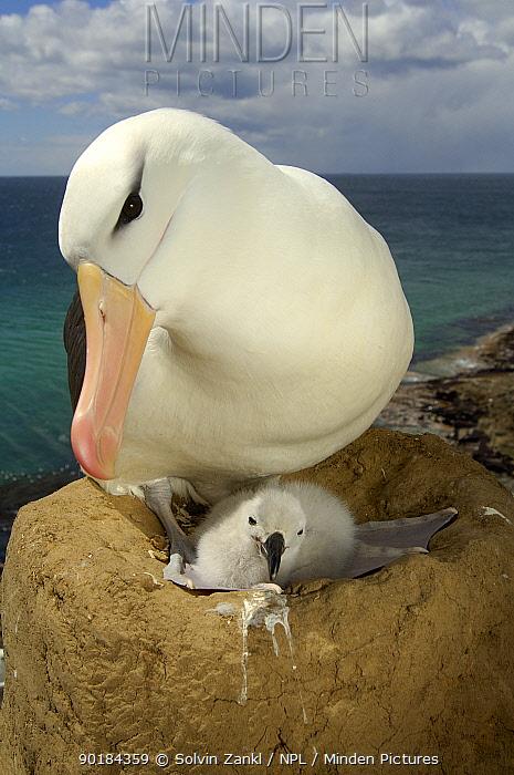 Black browed albatross (Thalassarche melanophrys) on nest with chick, Falkland Islands  -  Solvin Zankl/ npl