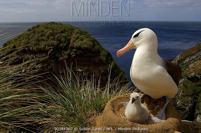 Black browed albatross (Thalassarche melanophrys) at nest with chick, Falkland Islands  -  Solvin Zankl/ npl
