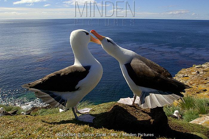 Black browed albatrosses (Thalassarche melanophrys) courtship dance, Falkland Islands  -  Solvin Zankl/ npl
