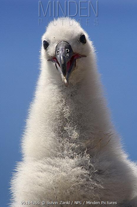 Portrait of Black browed albatross (Thalassarche melanophrys) chick, Falkland Islands  -  Solvin Zankl/ npl