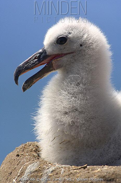 Portrait of Black browed albatross (Thalassarche melanophrys) chick in nest, Falkland Islands  -  Solvin Zankl/ npl