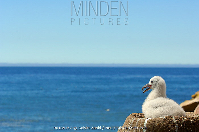 Black browed albatross (Thalassarche melanophrys) chick looking out to sea from nest, Falkland Islands  -  Solvin Zankl/ npl