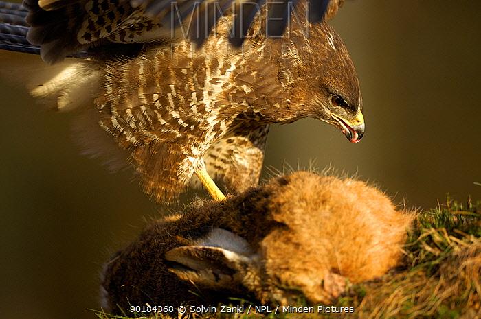 Common Buzzard (Buteo buteo) eating European hare (Lepus europaeus) Germany  -  Solvin Zankl/ npl