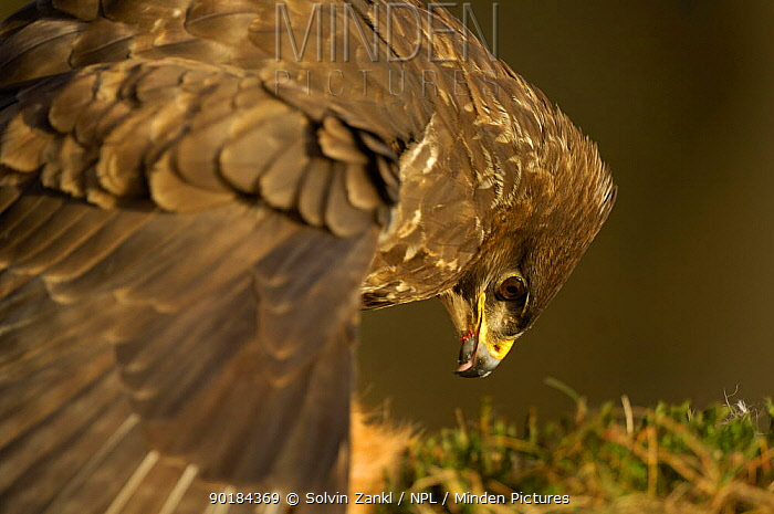 Close up of Common Buzzard (Buteo buteo) head and wing whilst feeding, Germany  -  Solvin Zankl/ npl
