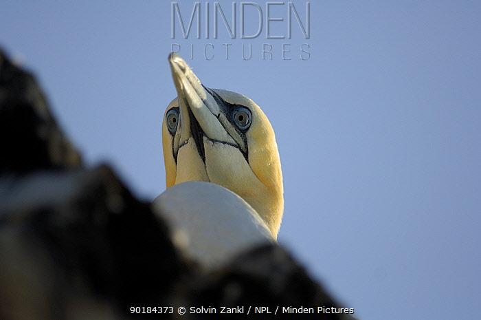 High angle shot of head of Northern gannet (Morus bassana), Bass Rock, Scotland UK  -  Solvin Zankl/ npl