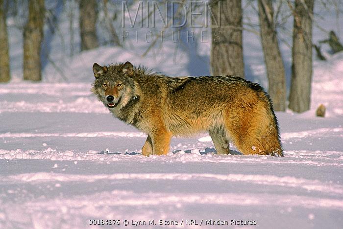 Grey wolf (Canis lupus) walking in snow, USA C  -  Lynn M. Stone/ npl