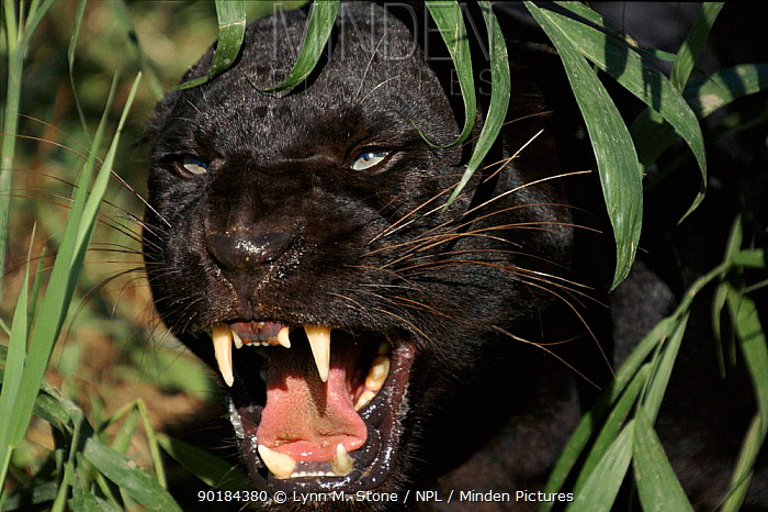 Melanistic (black form) leopard snarling, often called black panther (captive)  -  Lynn M. Stone/ npl