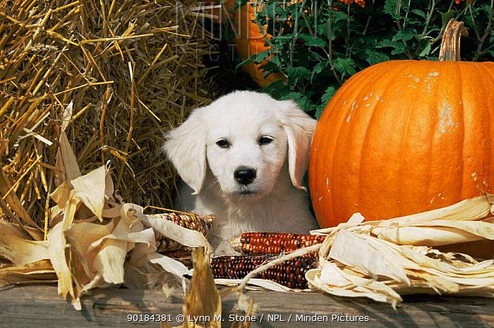 Golden Retriever puppy (Canis familiaris) portrait with pumpkin  -  Lynn M. Stone/ npl