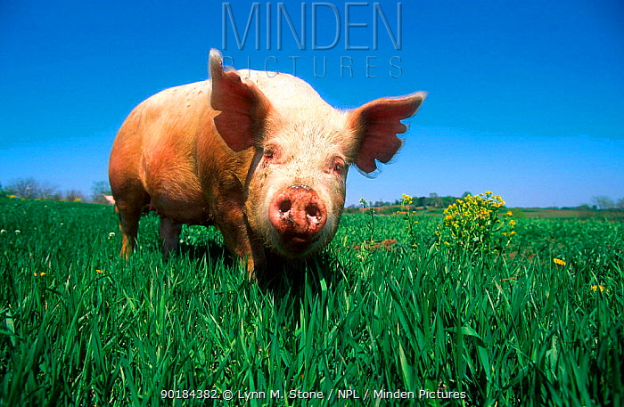 Domestic pig portrait, Yorkshire breed  -  Lynn M. Stone/ npl