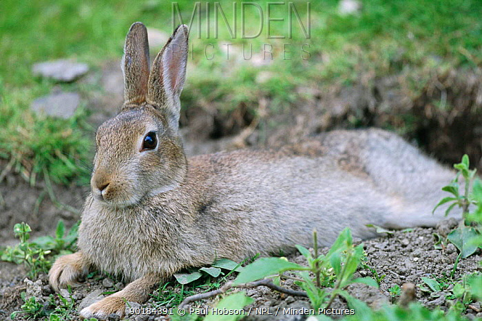 European rabbit resting (Oryctolagus cuniculus) young adult, Yorkshire, UK  -  Paul Hobson/ npl