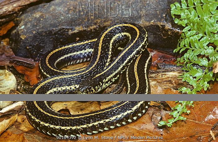 Eastern garter snake (Thamnophis sirtalis sirtalis) USA  -  Lynn M. Stone/ npl