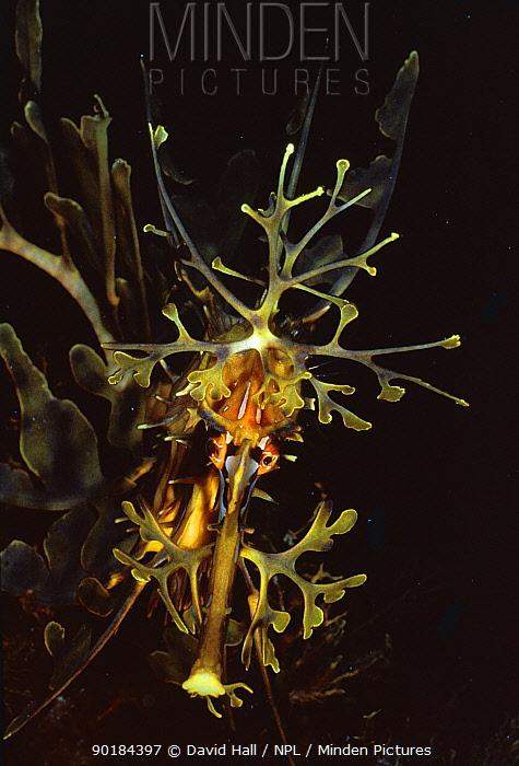 Leafy seadragon (Phycodurus eques) South Australia  -  David Hall/ npl