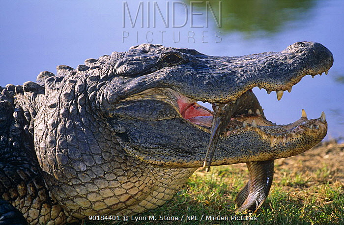 American alligator with fish in its mouth (Alligator mississippiensis) USA  -  Lynn M. Stone/ npl