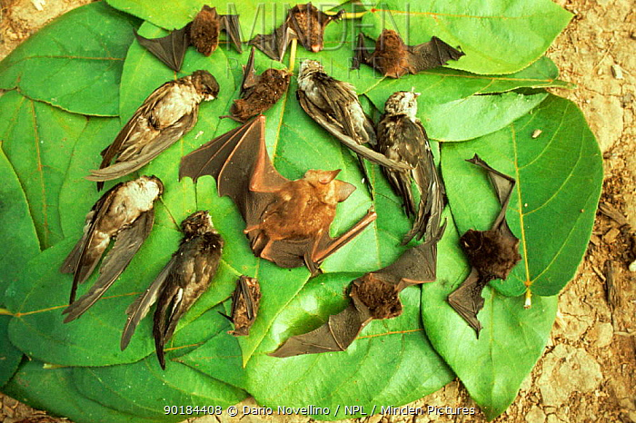 Collection of dead Bats and Birds hunted for food, Palawan, Philippines  -  Dario Novellino/ npl