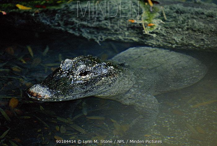 Chinese alligator (Alligator sinensis) Critically Endangered species Captive  -  Lynn M. Stone/ npl