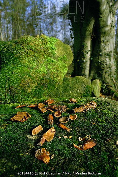 Pine cones and Hazel nuts eaten by Grey Squirrel (Sciuruscarolinensis) UK  -  Phil Chapman/ npl