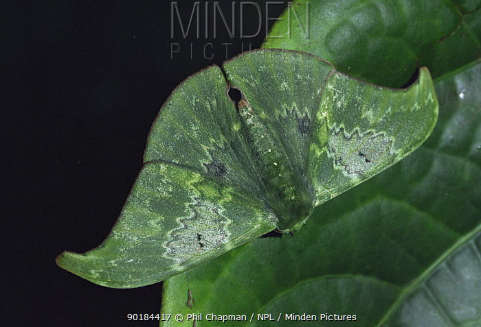 Cryptic Moth camouflaged as leaf in Montane forest, Tari, Papua New Guinea  -  Phil Chapman/ npl