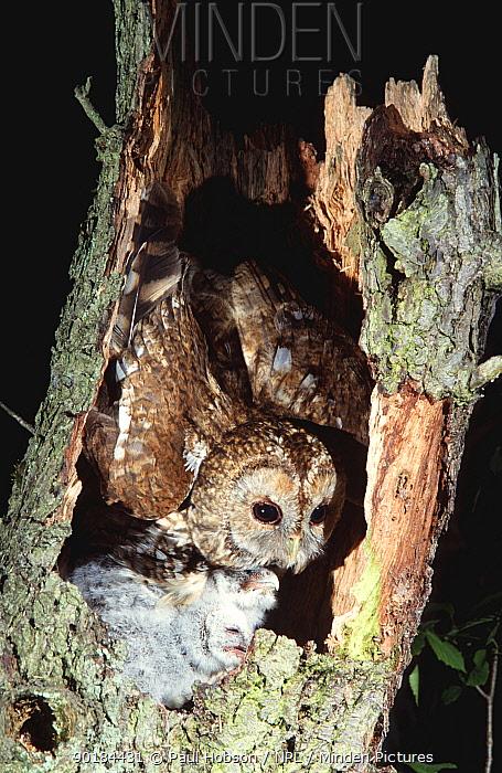 Tawny owl with chicks at nest (Strix aluco) Yorkshire, UK  -  Paul Hobson/ npl
