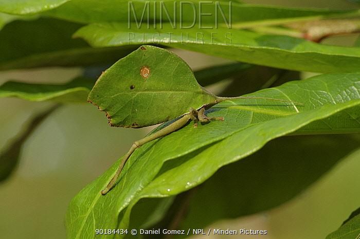 Leaf mimic grasshopper (Tettigonoidae sp) Pare State, Brazil  -  Daniel Gomez/ npl