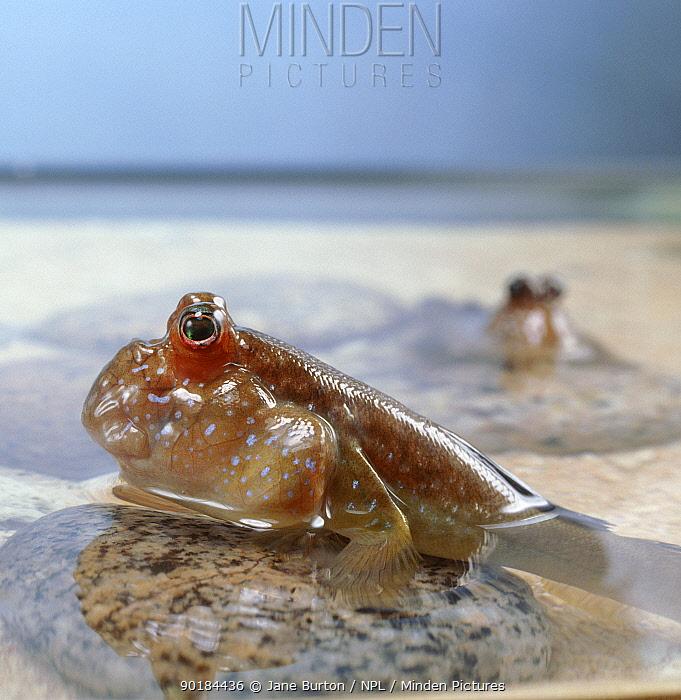 Mudskipper (Periophthalmus barbarus) captive  -  Jane Burton/ npl