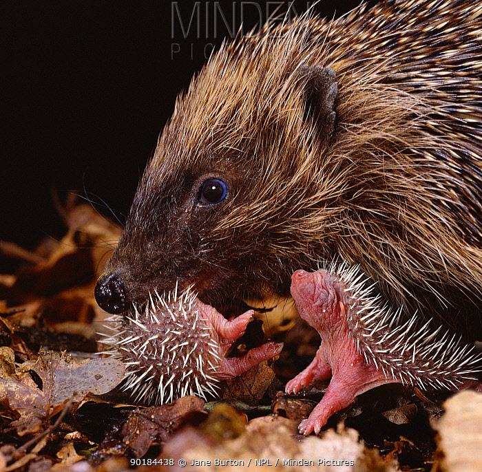 Hedgehog carrying newborn to new nest (Erinaceus europaeus) captive, UK  -  Jane Burton/ npl