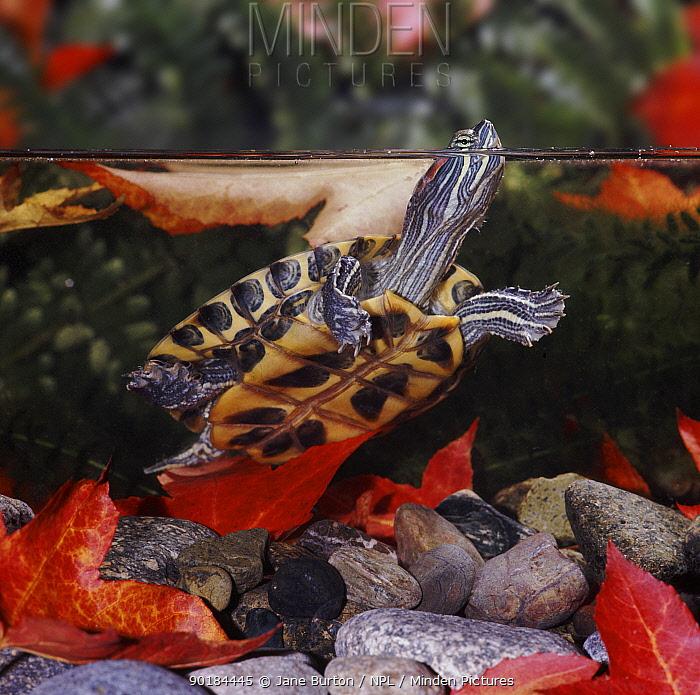 Red eared turtle, terrapin (Pseudemys scripta elegans) getting air Captive  -  Jane Burton/ npl