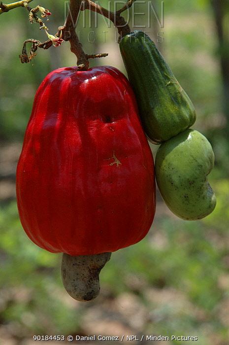 Cashew nut fruits (Anacardium occidentale) Para State, Brazil  -  Daniel Gomez/ npl