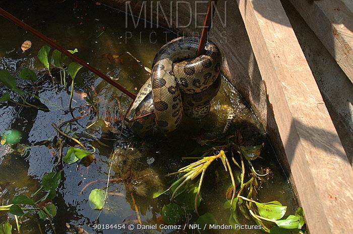 Anaconda (Eunectes murinus) coiled around metal post Para, Brazil Captive  -  Daniel Gomez/ npl