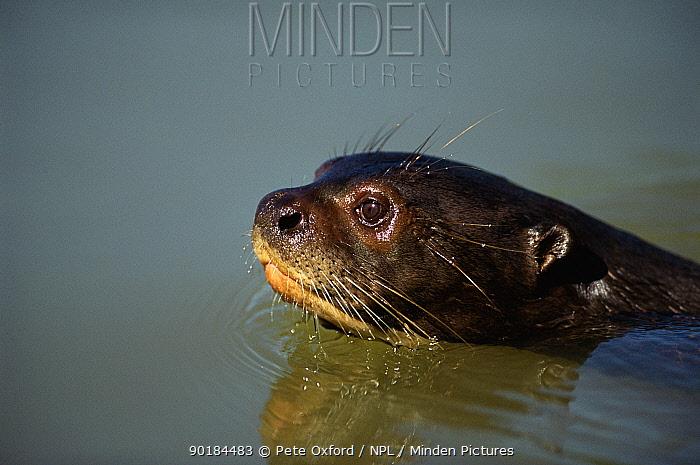 Giant otter swimming (Pteronura brasiliensis) head close-up Pantanal, Brazil, South America  -  Pete Oxford/ npl