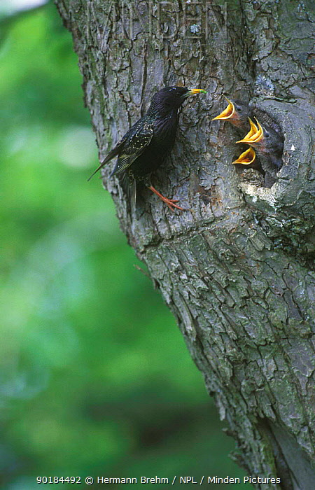 Common starling feeding chicks at nest in tree (Sturnus vulgaris) Germany  -  Hermann Brehm/ npl