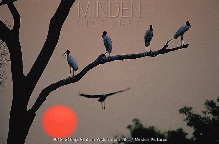 Jabiru storks roosting in tree at sunset (Jabiru mycteria) Pantanal, Brazil  -  Staffan Widstrand/ npl