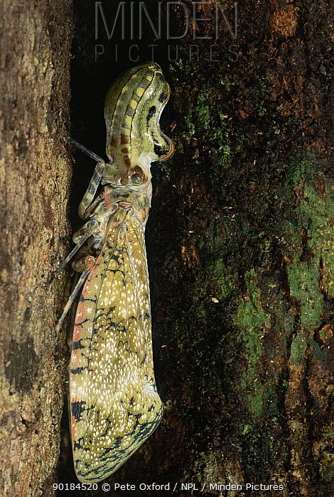 Peanuthead lantern bug (Fulgora laternaria) Amazonia, Ecuador  -  Pete Oxford/ npl