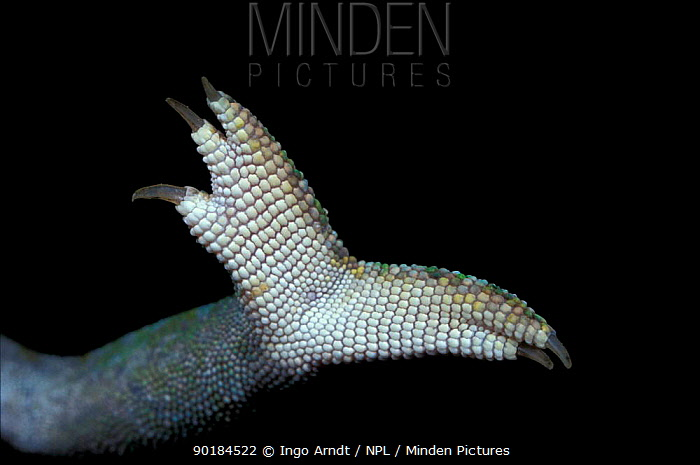Close up of foot of Jewel chameleon (Chamaeleo lateralis)  -  Ingo Arndt/ npl