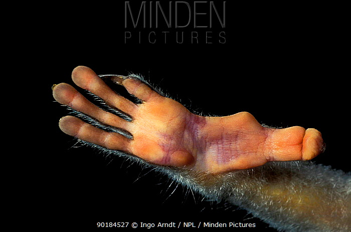 Close up of foot of Slender loris (Loris tardigradus)  -  Ingo Arndt/ npl