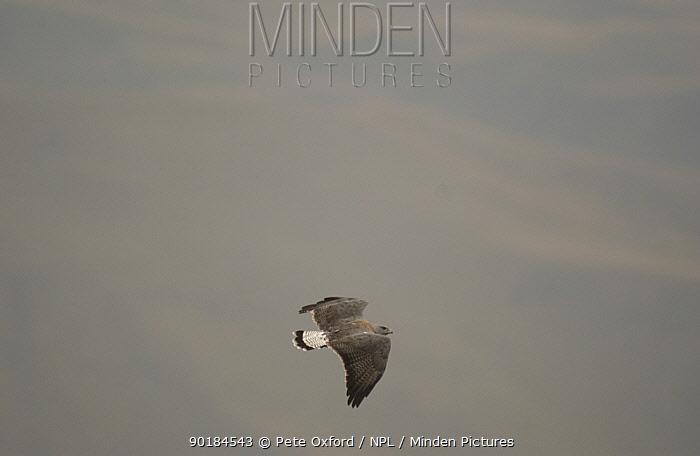 Variable hawkin flight (Buteo polyosoma) Andes, Ecuador  -  Pete Oxford/ npl