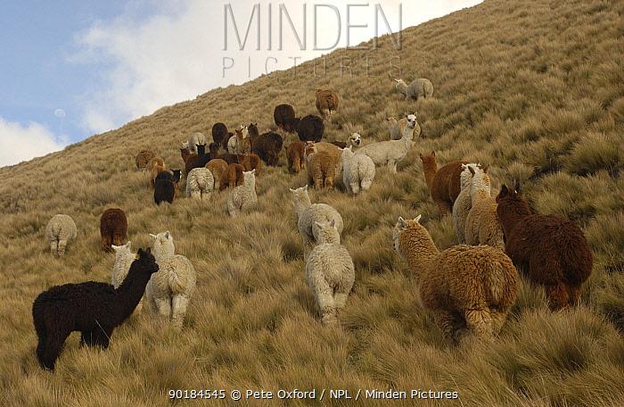 Alpaca herd grazing on the paramo, Chimborazo Province, Andes, Ecuador (Lama pacos)  -  Pete Oxford/ npl