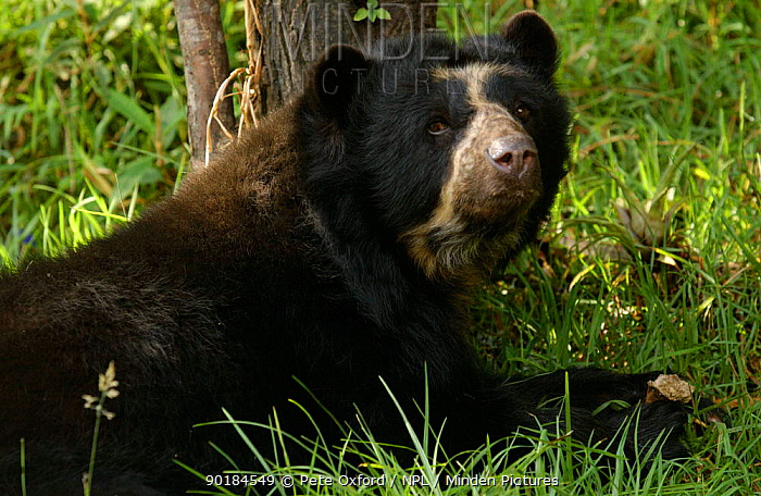 Spectacled bear (Tremarctos ornatus) captive, Ecuador  -  Pete Oxford/ npl