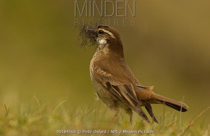Bar winged cinclodes (Cinclodes fuscus) Cajas NP, Paramo, Andes, Ecuador  -  Pete Oxford/ npl