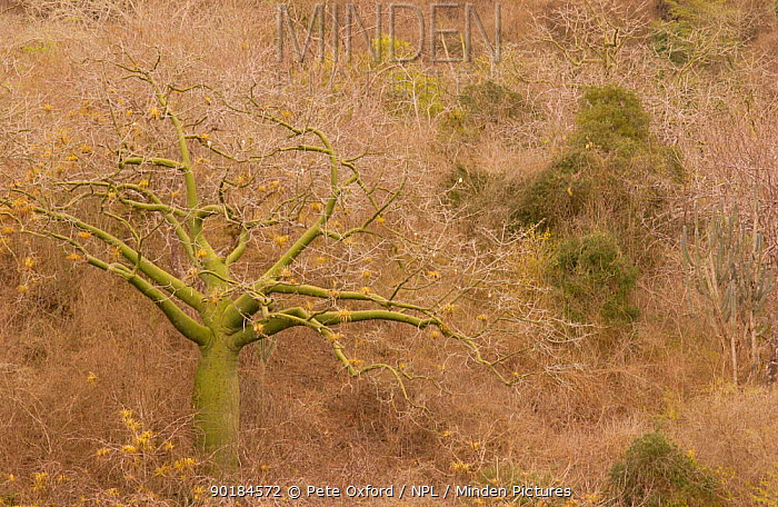 Ceibo, Kapok tree (Ceiba trischistandra) Pacific dry forest, Machalilla NP Ecuador  -  Pete Oxford/ npl